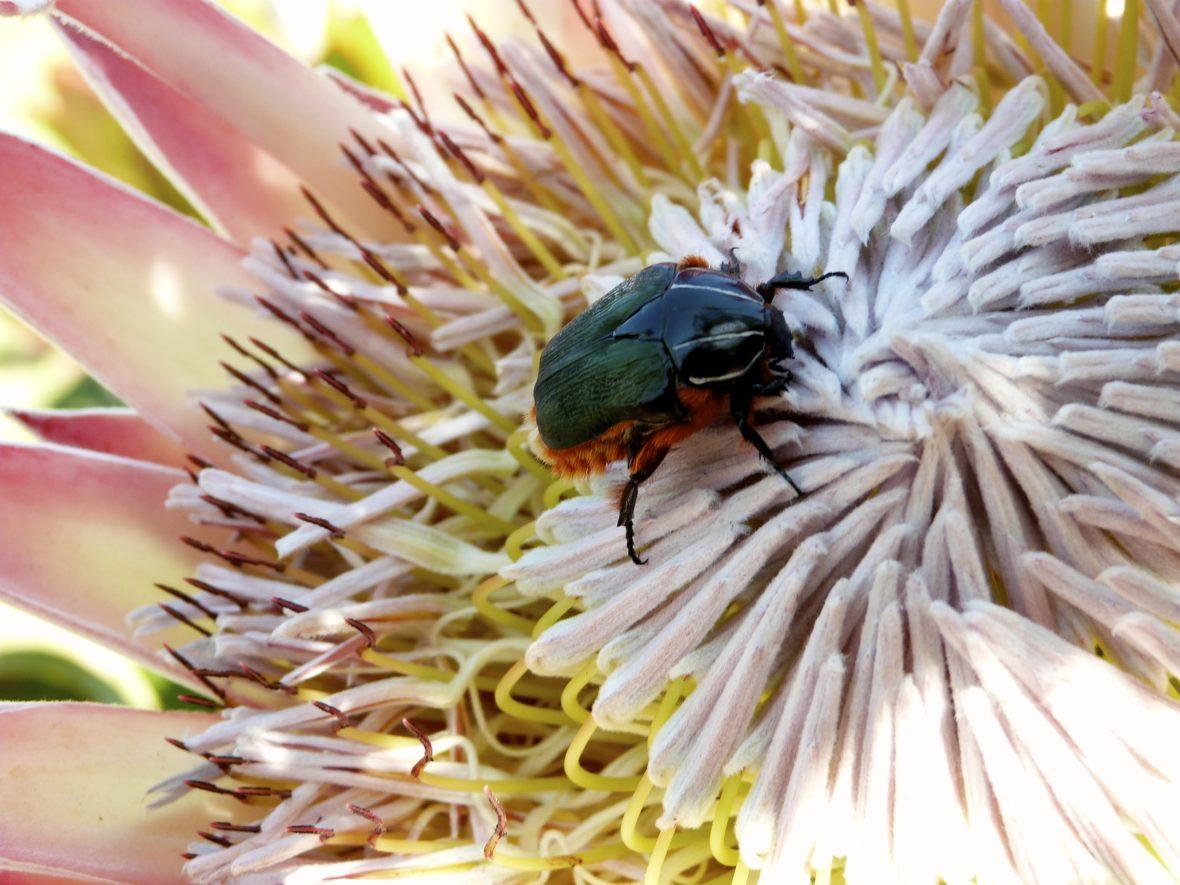 insecte sur fleur afrique du sud