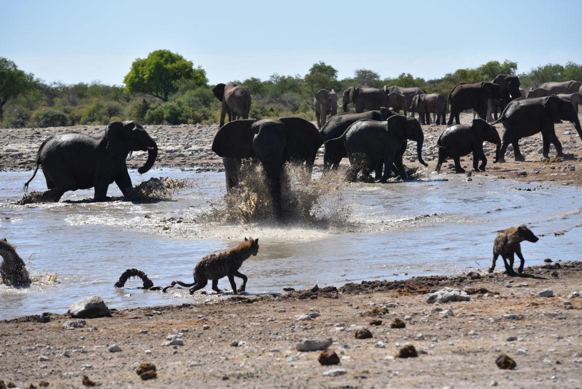 éléphants edt hyènes afrique du sud