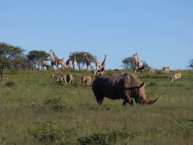 rhinocéros zèbres et girafes
