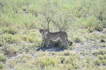 léopards